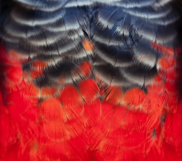 Colorful scarlet macaw bird's feathers with red yellow orange and blackshades, exotic nature background and texture.