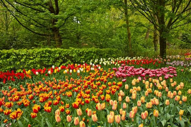 カラフルな春の花とオランダの庭キューケンホフ、オランダの花
