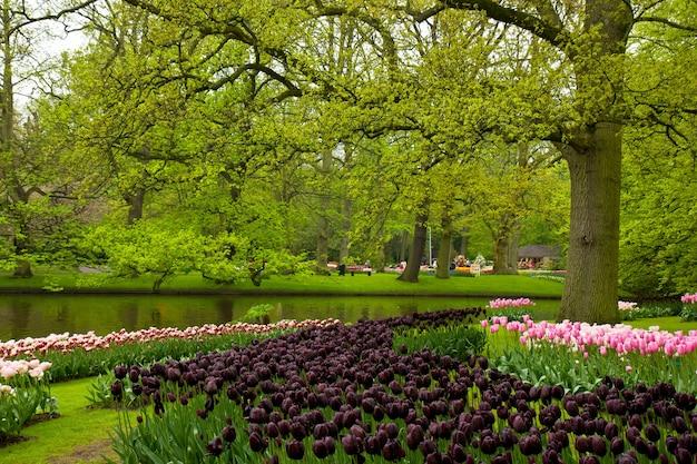 庭キューケンホフ、オランダの黒いチューリップとカラフルな春の芝生