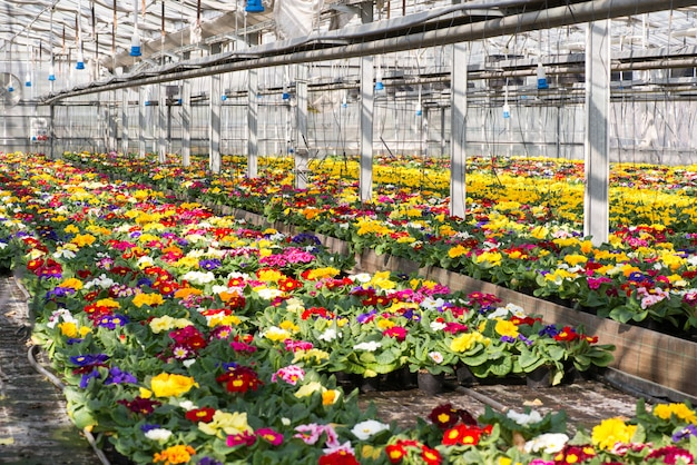 Colorful spring primroses growing in a hothouse
