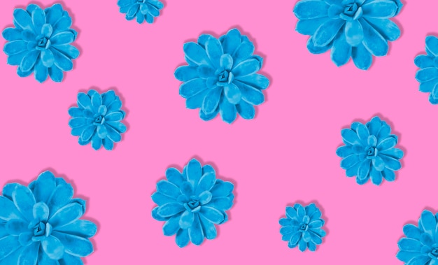 Colorful succulent plant on pink color background. hard shadow. hard light. blue and pink.