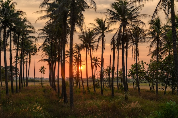 Colorful sunset in coconuts plantation at countryside