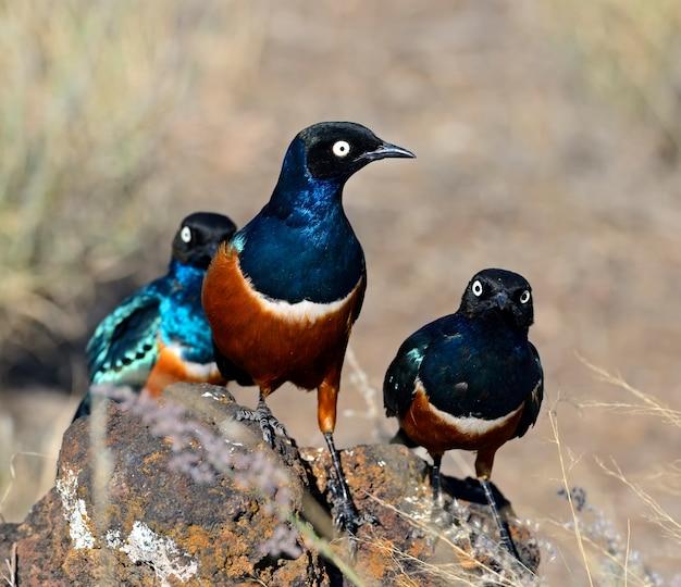 アフリカのサバンナでカラフルな素晴らしいムクドリ