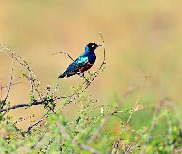 カラフルな素晴らしいムクドリ(lamprotornisスーパーバス)、ケニア。アフリカ。