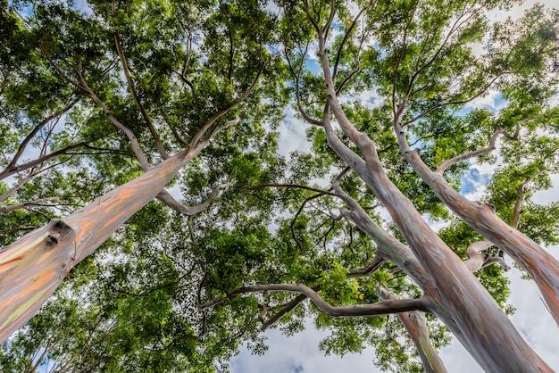Colorful and tall rainbow eucalyptus trees on oahu, hawaii