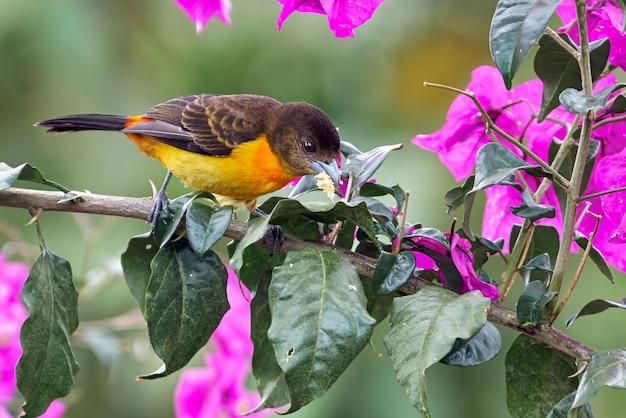 나무에 몇 가지 과일에 먹이 다채로운 tanager