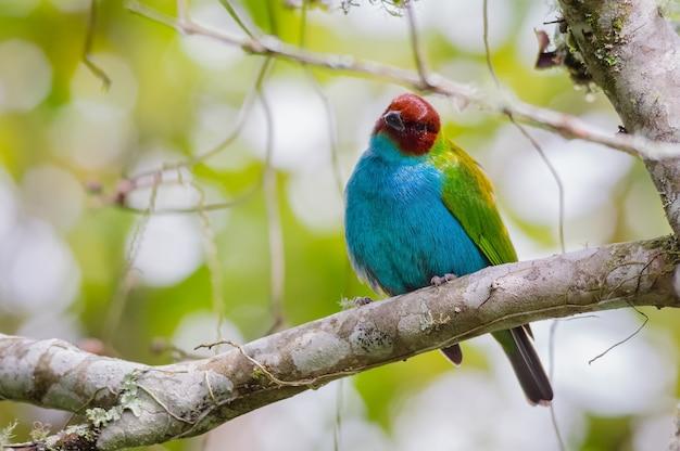 나무에서 응시하는 다채로운 tanager