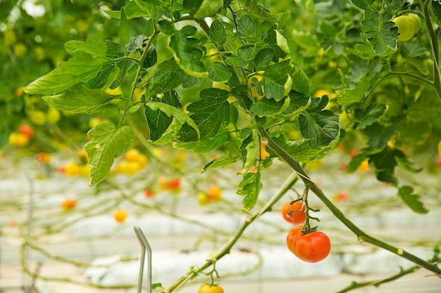 Colorful tomato plants growing inside a greenhouse, close shooting.