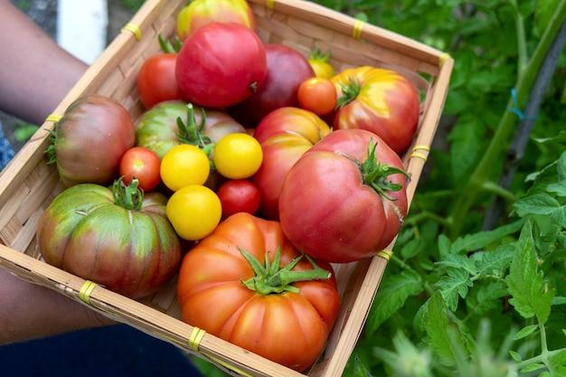 Разноцветные помидоры разных размеров и видов в саду