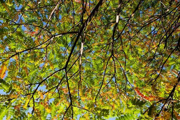 秋の森の中の色とりどりの木々、葉が落ちると葉の色が変わります