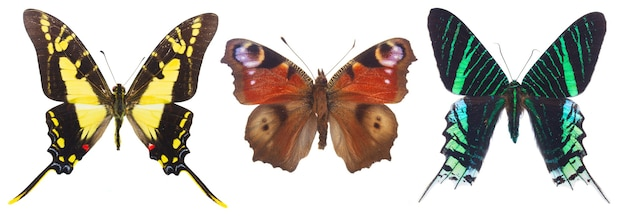 白で隔離されるカラフルな熱帯の蝶の列