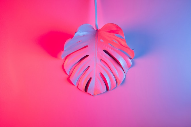 Colorful tropical summer minimal concept with single monstera leaf on pink and purple gradient background.