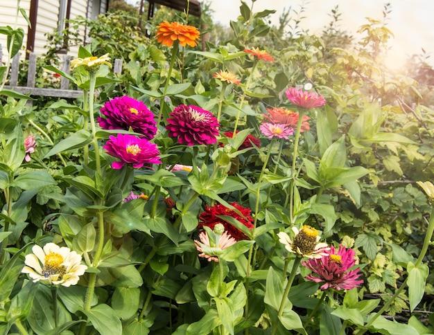 晴れた夏の日、屋外の庭にある木製の柵を背景に色とりどりのツィニアの花が咲きます