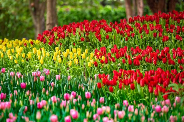 春の公園の庭の色とりどりのチューリップの花