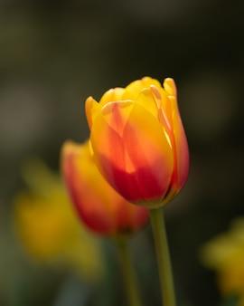 野原に色とりどりのチューリップの花
