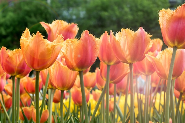 Colorful tulips flowers blooming in a garden