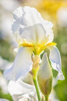 カラフルな黄色と白の虹彩