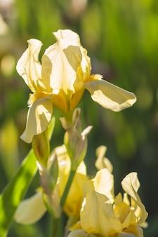カラフルな黄色と白の菖蒲