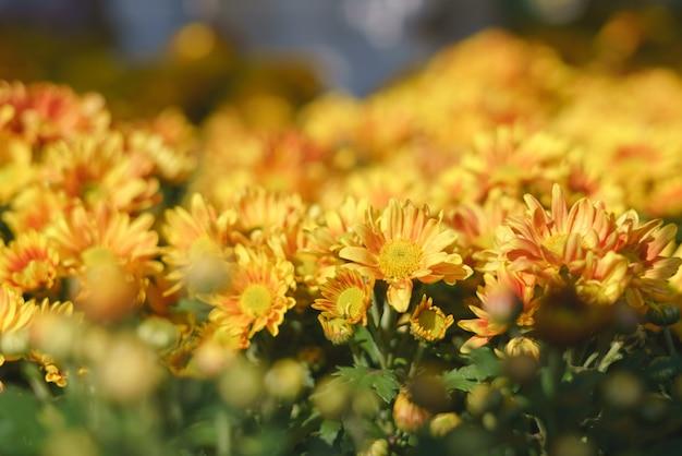 カラフルな黄色の菊の花