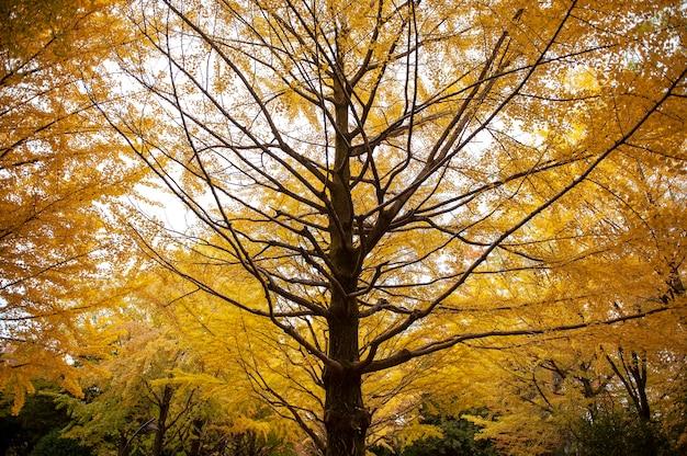 カラフルな黄色い銀杏の木。日本の秋。