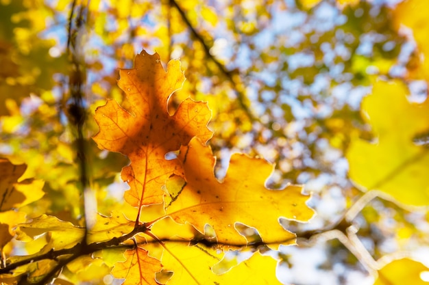 Красочные желтые листья в осенний сезон. снимок крупным планом.