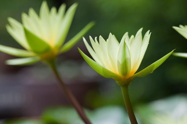 カラフルな黄色い蓮