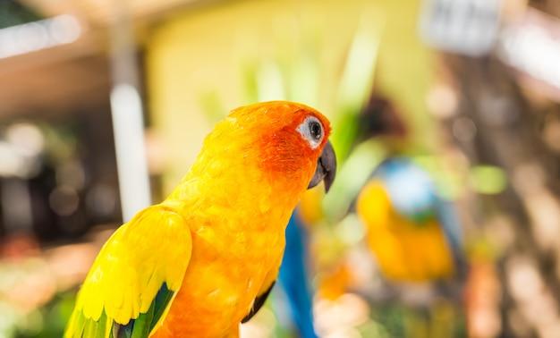 Красочный желтый попугай sun conure, aratinga solstitialis