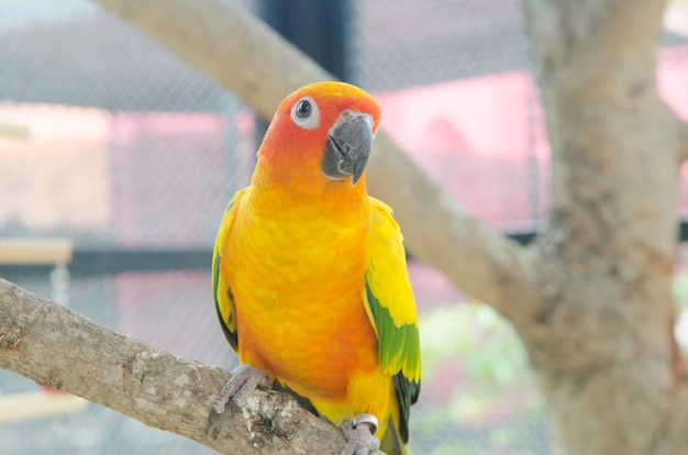 Colorful yellow parrot, sun conure (aratinga solstitialis)