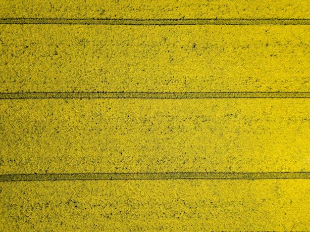 Красочный желтый весенний урожай канолы, рапса или рапса, если смотреть сверху, показывая параллельные следы через поле. воздушный выстрел
