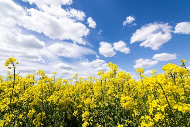 흰 구름과 아름다운 푸른 하늘과 화창한 날에 카놀라, 유채 또는 강간의 다채로운 노란색 봄 출원