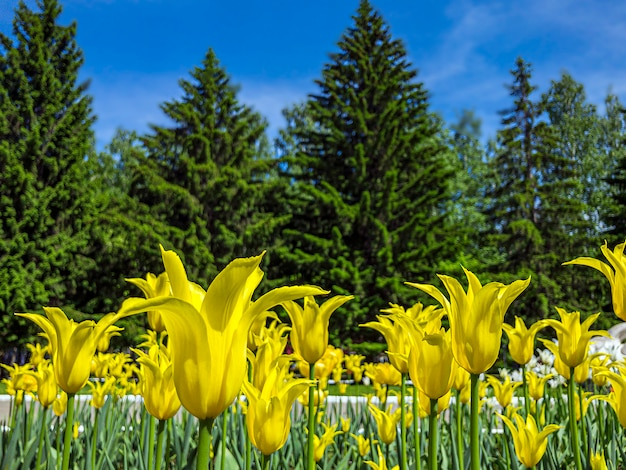 Colorful yellow tulip flowers on a flowerbed in the city park