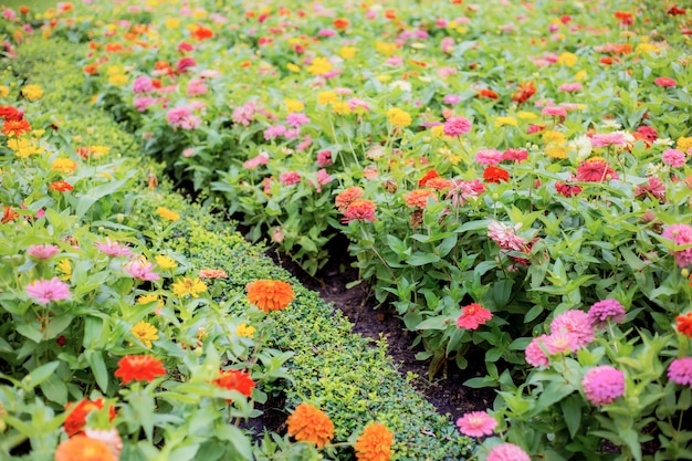 Colorful of zinnia on lawn.
