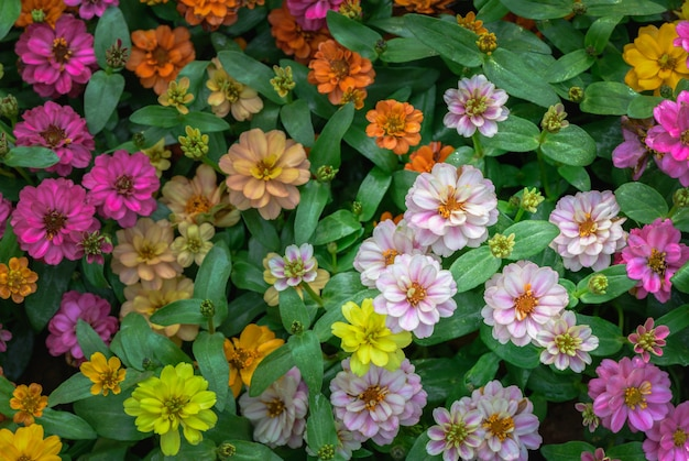 Colorful of zinnia violacea flower in garden selective focus, nature background concept