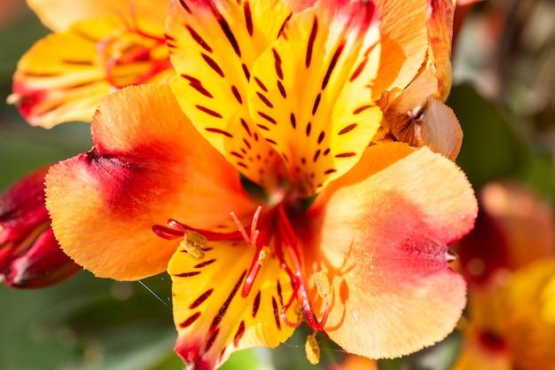 자연 채광 아래에서 colorfull 피튜니아 꽃입니다. 매크로.