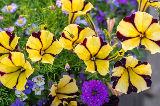 자연 채광 아래에서 colorfull 피튜니아 꽃입니다. 여름 화단.