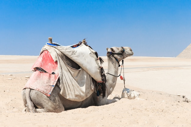 A colorfully saddled camel waits