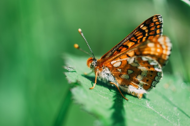 背景の焦点が合っていない緑の葉の上にとまる色の蝶。マクロ撮影に焦点を当てます。