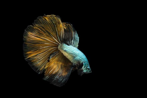 カラフルなベタの魚、黒で隔離された動きのシャムの戦いの魚。