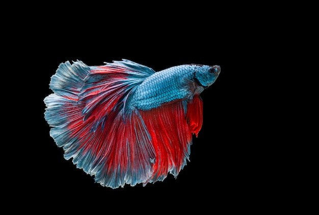 Colourful betta fish,siamese fighting fish in movement isolated on black.