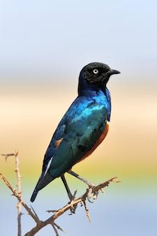 Uccello colorato storno superbo si siede su un ramo
