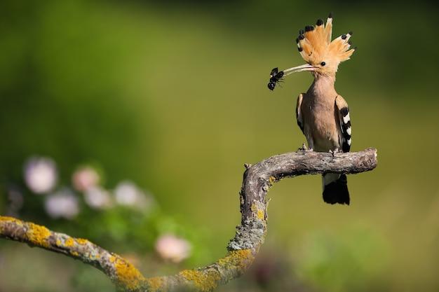 湾曲した枝に座って、くちばしに黒い虫を持ったカラフルなヤツガシラ