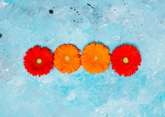 Colourful gerbera flowers on blue table