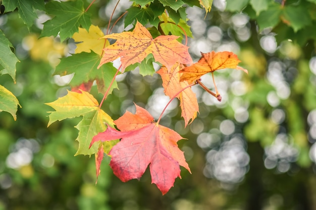 Colourful maple leaves in autumn