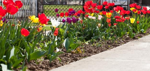 花壇のクローズアップのカラフルなチューリップ