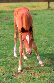 Colt on unsteady legs in green pasture