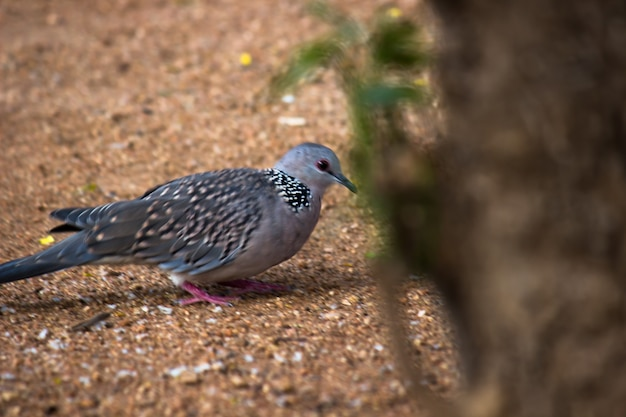 Columbidae or the european turtle dove on the ground looking for food
