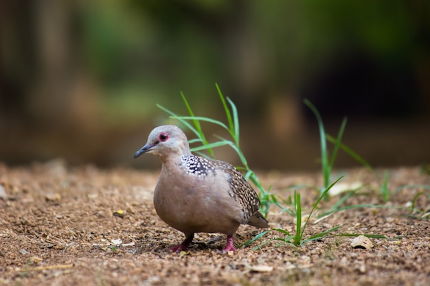 Columbidae or the european turtle dove looking for food on the ground