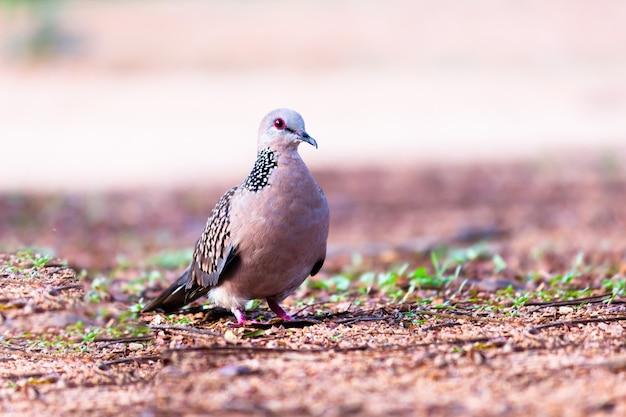 ハト科またはコキジバトが地面で餌を探している
