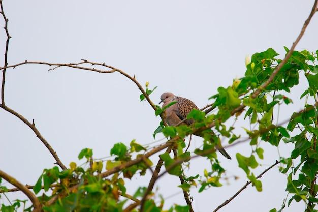 ハト科またはコキジバトが木にとまったり休んだりしている