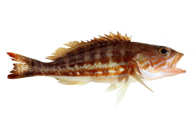 Comber fish地中海セラヌスカブリヤ